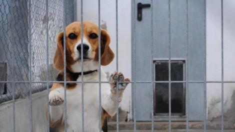beagle-animal-testing-355448